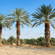 Plantation of date palms in the Arava desert — Stock Photo