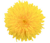 One yellow flower of dandelion isolated on white background — Stock Photo