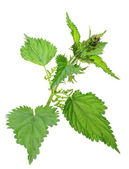 One branch of green nettle — Stock Photo