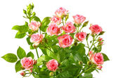 Bush with pink roses and green leafes — Stock Photo