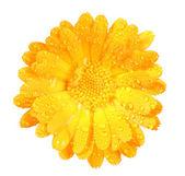 One orange flower of calendula with dew — Stock Photo