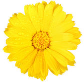 One yellow flower of calendula with dew — Stock Photo