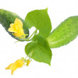 Two fresh cucumbers with leaf and yellow flowers — Stock Photo