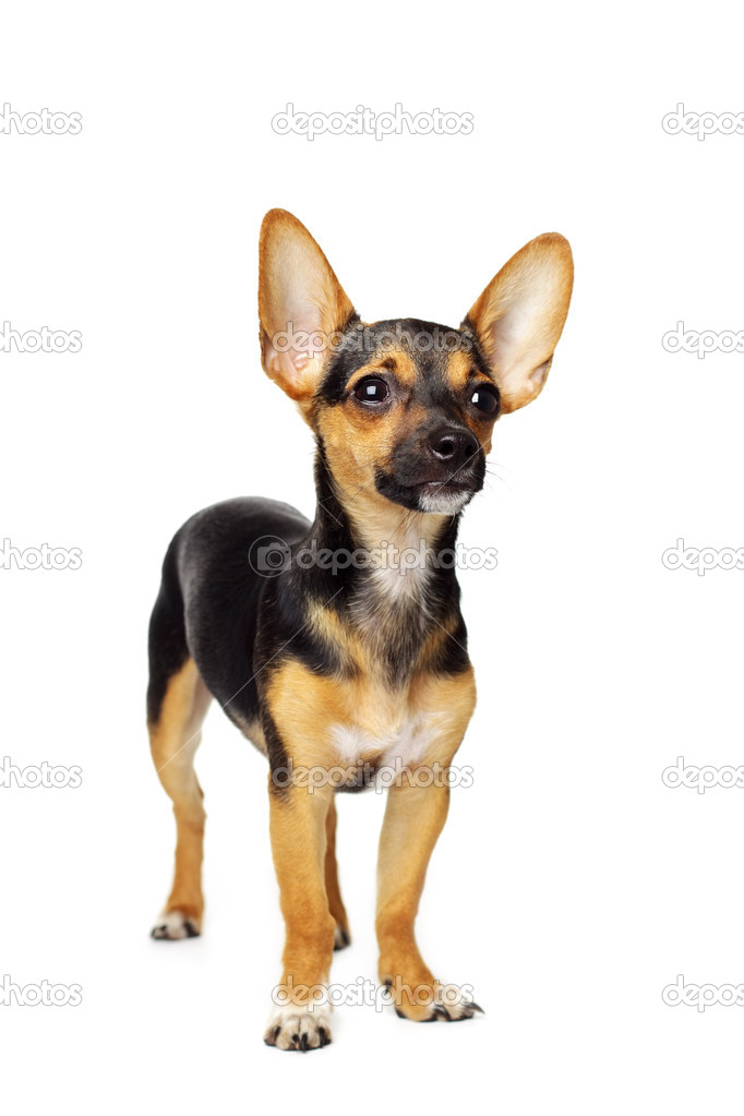 Miniature Pinscher isolated on white — Stock Photo #6013108