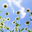 Daisies on blue sky — Stock Photo #6137388