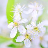 White cherry blossoms close-up — Stock Photo