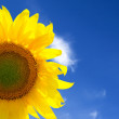 Стоковое фото: Closeup of yellow sunflower