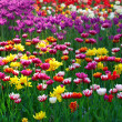 Multicolor tulips - Stock Photo