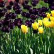 Stock Photo: Yellow and vinous tulips