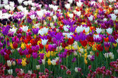 Multicolor tulips — Stock Photo