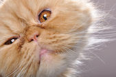Funny face of a red Persian cat — Stock Photo