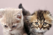 British fold and straight ear breed kittens — Stock Photo