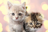 Scottish fold ear breed kittens — Stock Photo