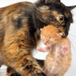 Mother cat carrying newborn kitten - Stock Photo