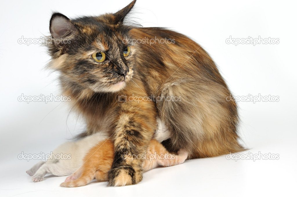Mother cat feeding her kittens. Studio shot.  Stock Photo #6670133