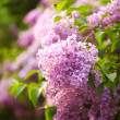 Stock Photo: Lilacs flowers