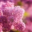 Lilacs flowers — Stock Photo #5682533