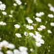 Daisy Flowers — Stockfoto