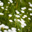 Stock Photo: Daisy flowers