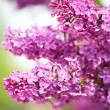 Lilacs flowers — Stock Photo #5682553