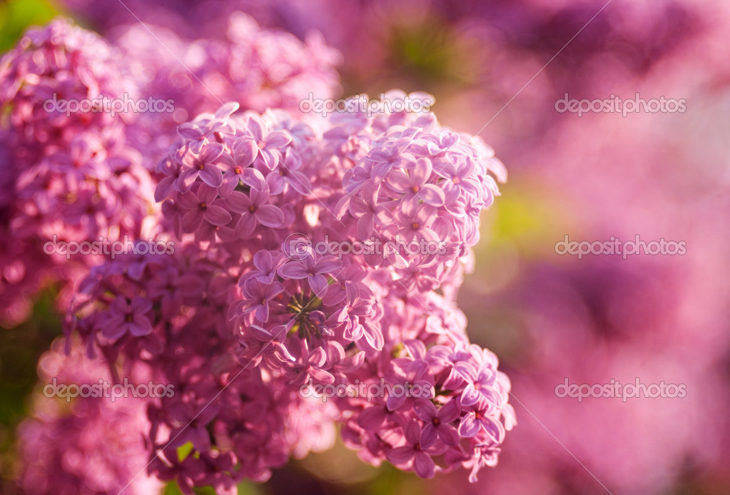 Lilacs flowers as natural abstract backgrounds with beauty bokeh — Stock Photo #5682533
