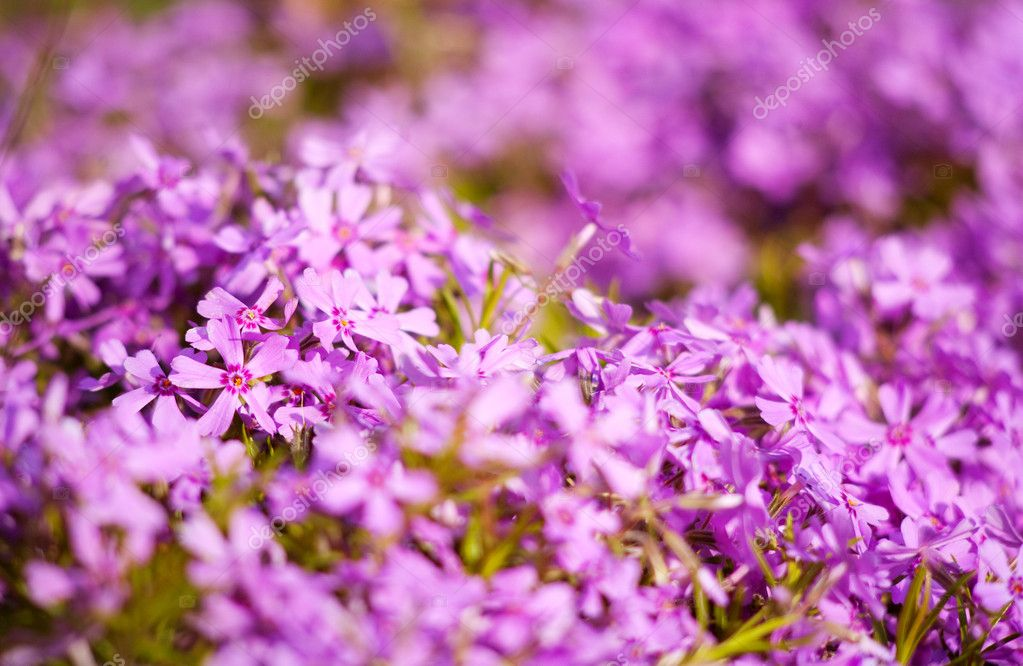 Purple flowers as natural abstract backgrounds with beauty bokeh — Stock Photo #5682551