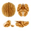 Royalty-Free Stock Vector Image: Walnut nut with shell