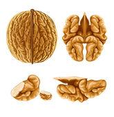 Walnut nut with shell — Stock Vector