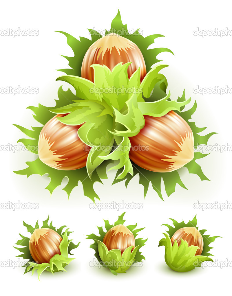 Cluster filbert nuts in the hard shell. Vector illustration isolated on white background. Gradient mesh used  Stock Vector #5782429