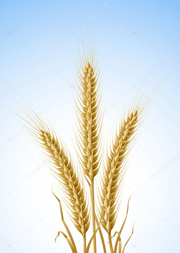 Yellow ears of wheat vector illustration, isolated on white background — Stock Vector #5783321