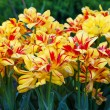 Flowerbed with yellow and red tulips — Stock Photo #5665097