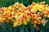 Parterre de fleurs avec des tulipes jaunes et rouges — Photo