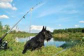 Scottish terrier — Stock Photo
