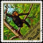 GUINEA - CIRCA 1975 Chimpanzee — Stock Photo