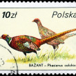POLAND - CIRCA 1986 Pheasants — Stock Photo