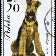 POLAND - CIRCA 1963 Airedale Terrier — Stock Photo
