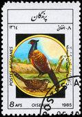 афганистан - около 1985 фазанов — Стоковое фото