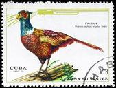 CUBA - CIRCA 1970 Pheasant — Stock Photo