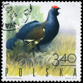 POLAND - CIRCA 1970 Black grouse — Stock Photo
