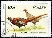 POLAND - CIRCA 1986 Pheasants — Stock Photo