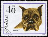 POLAND - CIRCA 1963 Boxer — Stock Photo