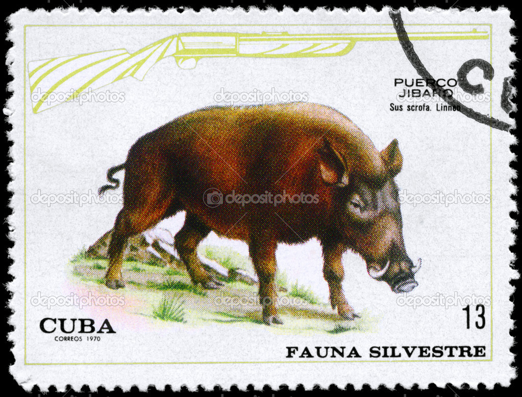 CUBA - CIRCA 1970: A Stamp shows image of a Wild Boar with the designation Sus scrofa from the series Wildlife, circa 1970 — Stock Photo #6258101