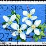 POLAND - CIRCA 1984 Clematis montana — Stock Photo