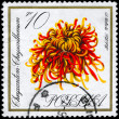 POLAND - CIRCA 1966 Chrysanthemum — Stock Photo