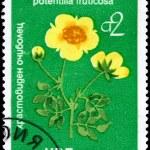 BULGARIA - CIRCA 1976 Potentilla — Stock Photo