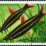 NICARAGUA - CIRCA 1981 Anostomus — Stock Photo #6263822