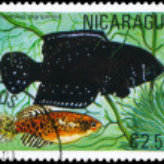 NICARAGUA - CIRCA 1981 Cynolebias — Stock Photo #6263840