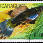 NICARAGUA - CIRCA 1981 Guppy — Stock Photo
