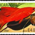 NICARAGUA - CIRCA 1981 Platyfish — Stock Photo