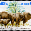 POLAND - CIRCA 1981 Wild Bison - Stock Photo